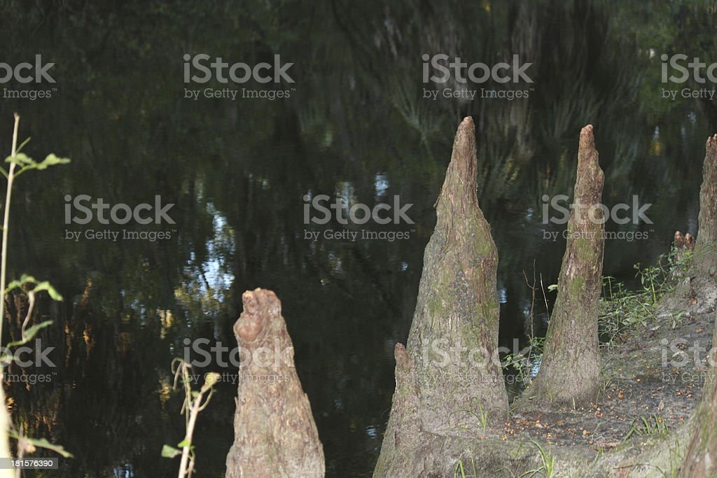 Roots Protruding at Lithia Springs State Park in Florida stock photo