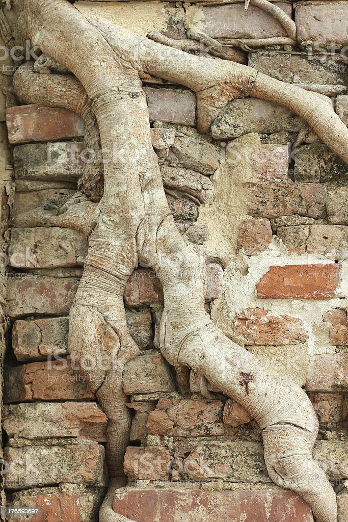 Roots Wood on old brick wall. royalty-free stock photo