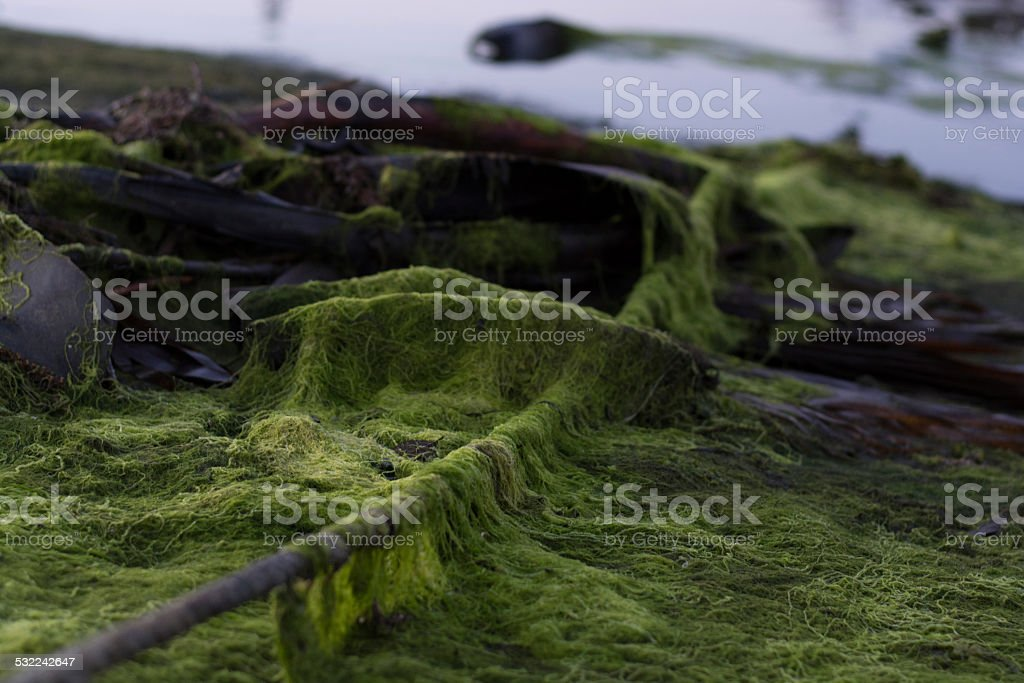 Rope covered in algae at low tide stock photo
