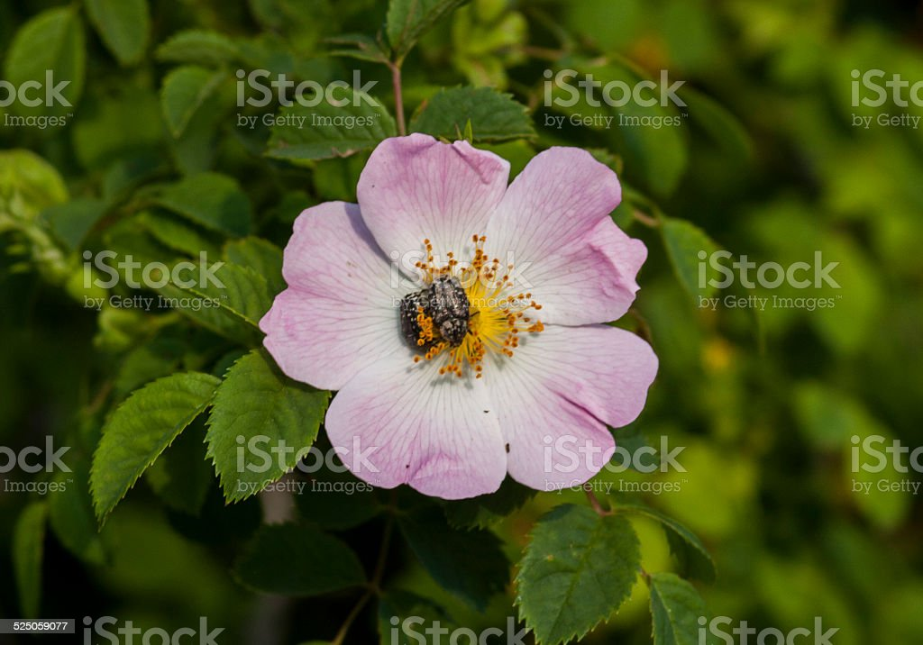 Rosa canina blossom with beetle stock photo