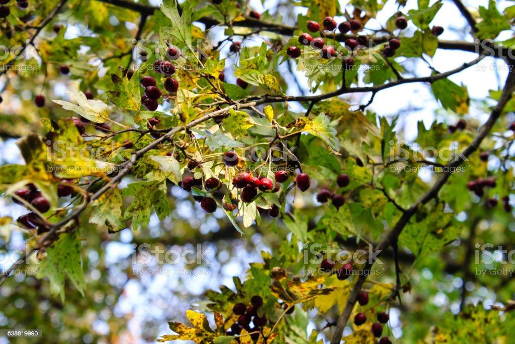 Rosa canina fruit on tree stock photo