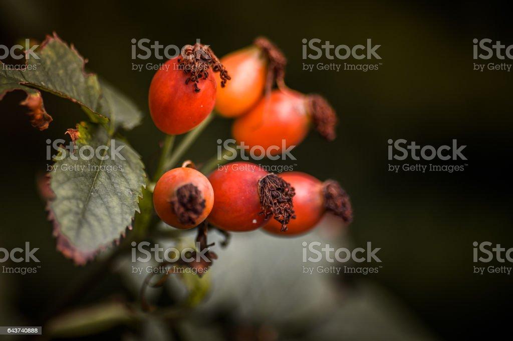 Rosa canina fruits stock photo