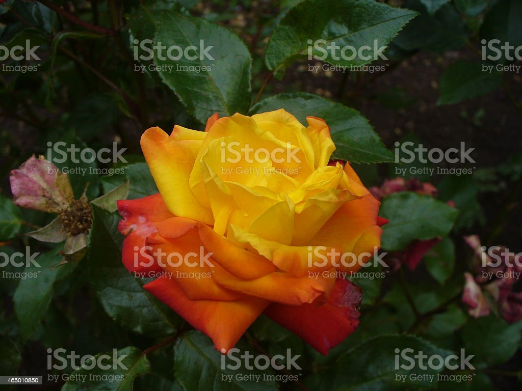 Rosa en degrade stock photo
