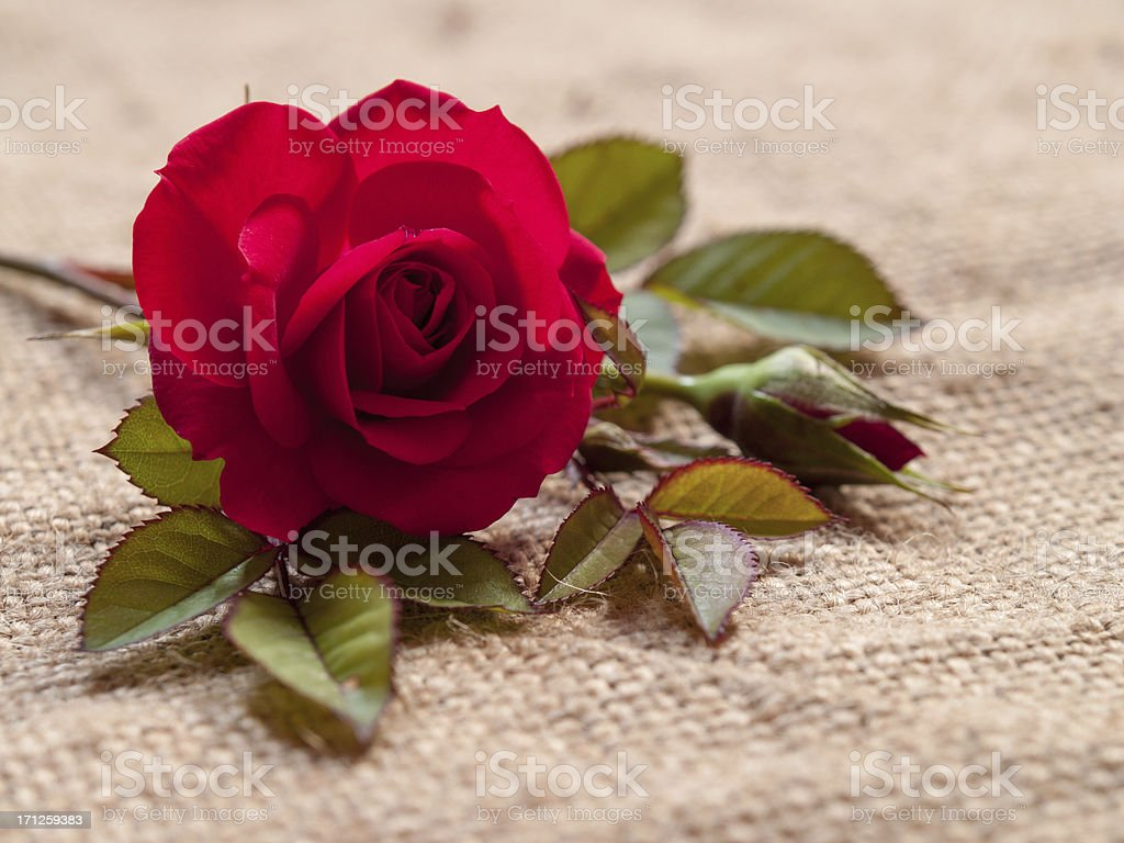 rosa gallica, red rose with leaves on coarse linen cloth stock photo