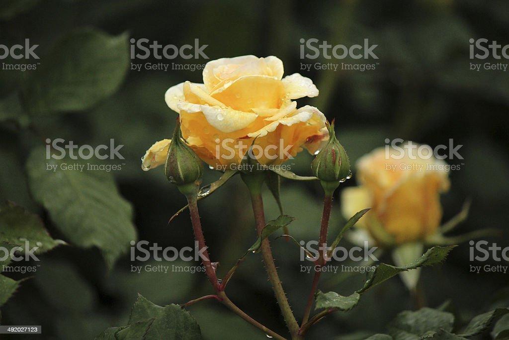Rosa Kronprinsesse Mary - Rose with Rain Drop stock photo