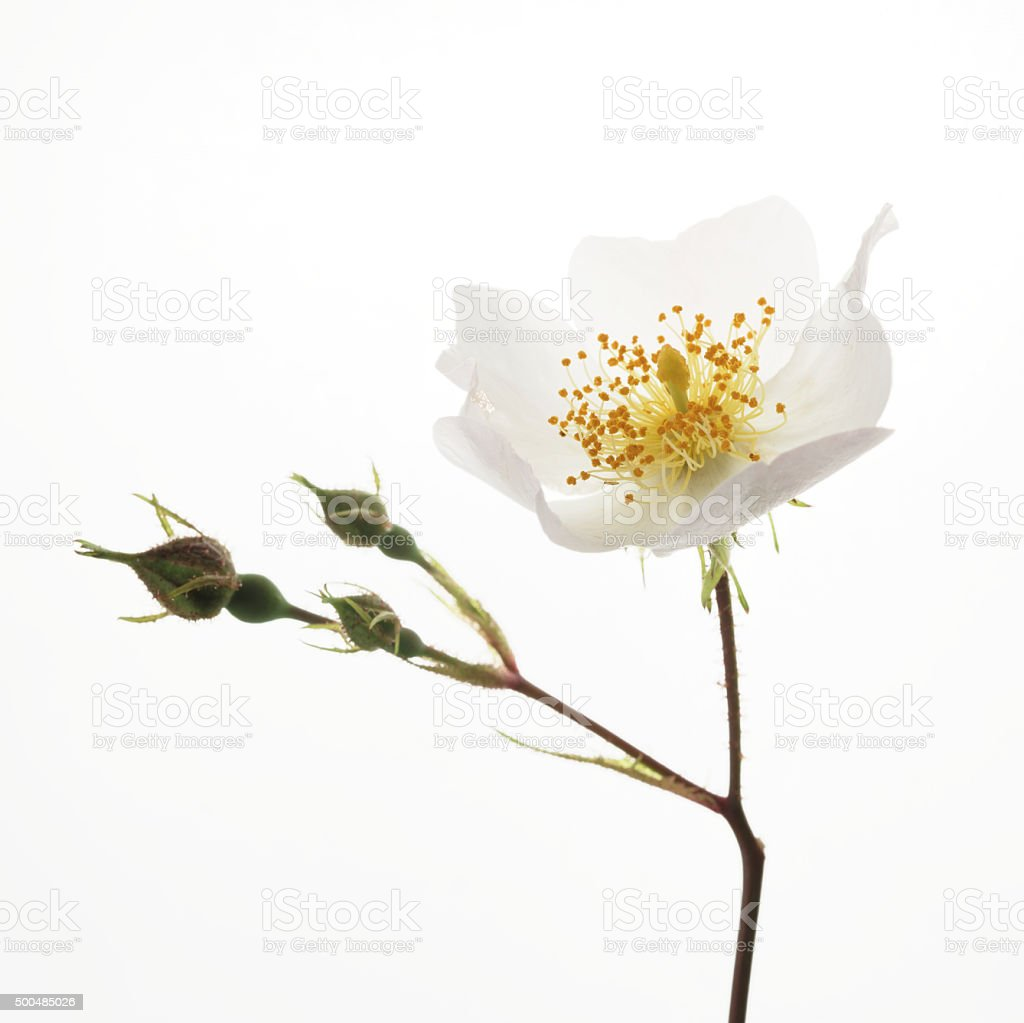 Rosa laevigata flowers and buds stock photo