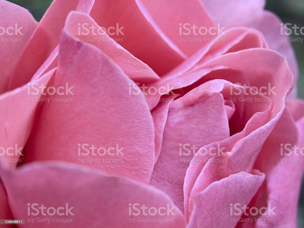 Rosa foto de stock libre de derechos
