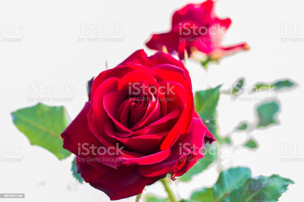 rosa stock photo