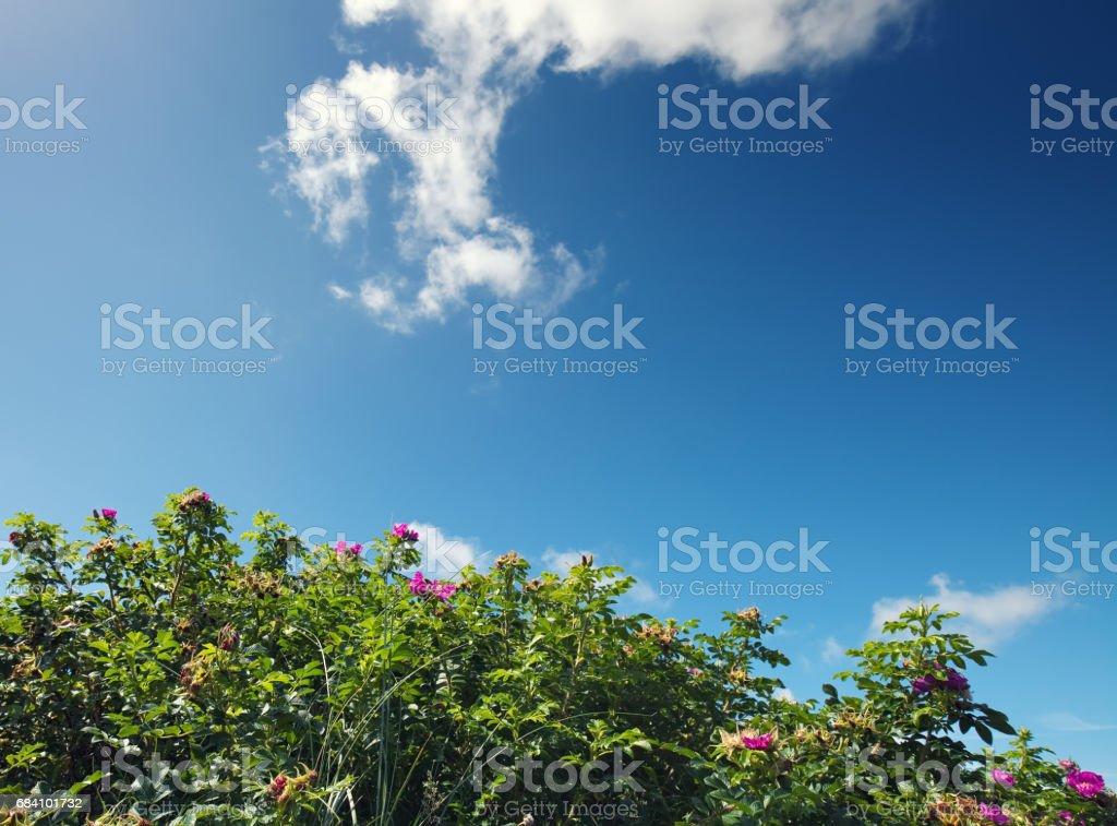 rosa rugosa stock photo