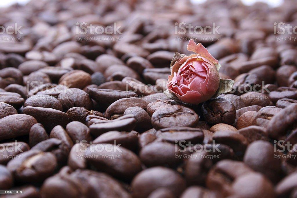 Rosa, 단고추 royalty-free 스톡 사진