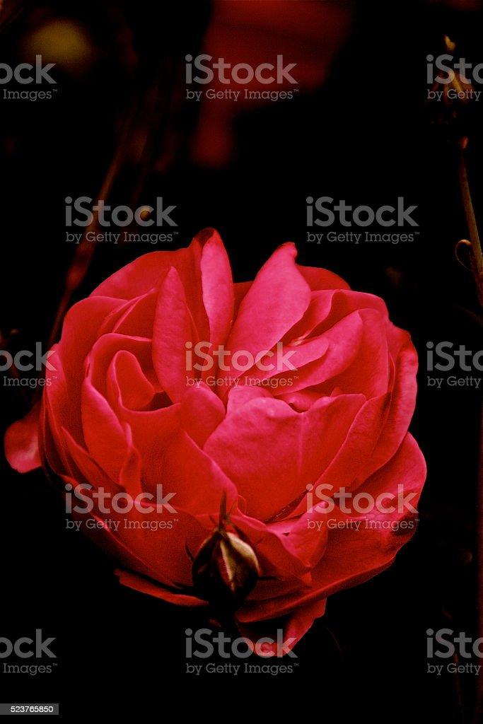 Rosa y Arte stock photo