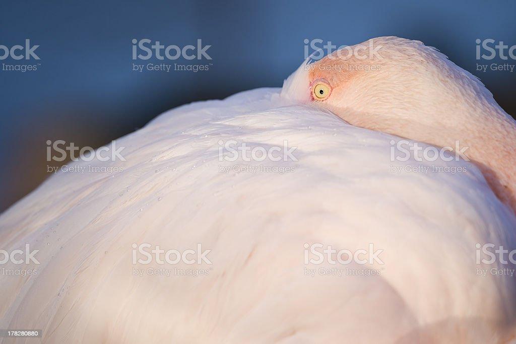 Rosaflamingo benutzt seine weichen Federn als Kopfkissen royalty-free stock photo