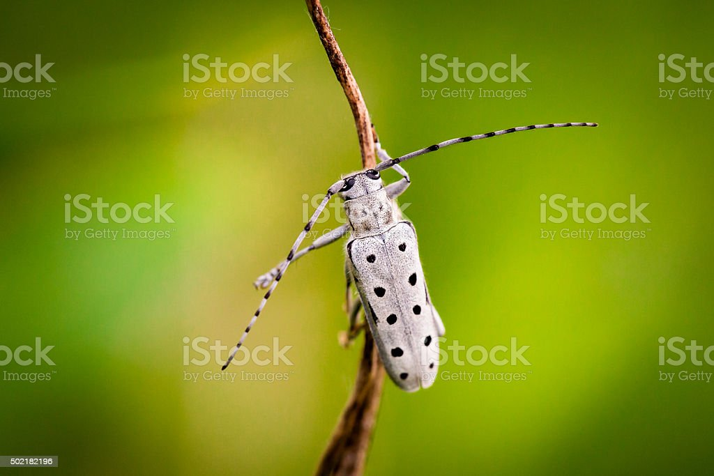 Rosalia longhorn beetle stock photo