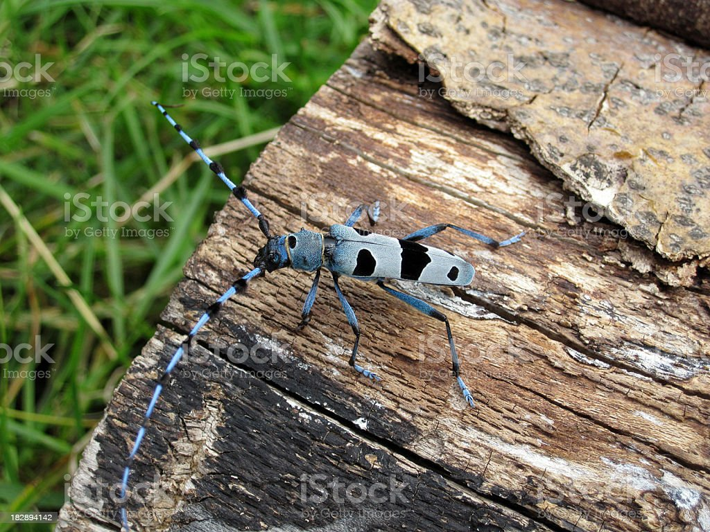 Rosalia longicorn - Alpenbock. A rare beetle stock photo