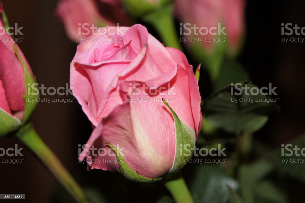 Rose 1 stock photo
