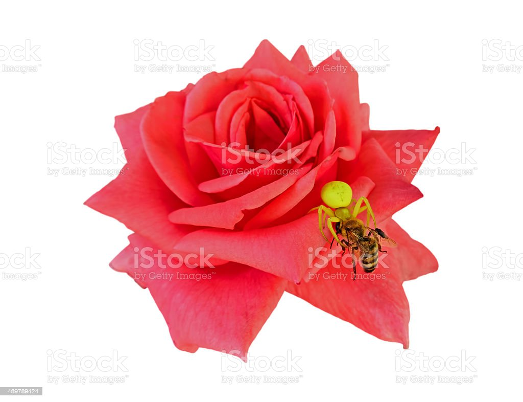 Rose, a spider and a bee royalty-free stock photo