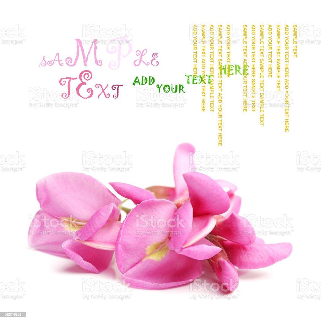 Rose acacia stock photo