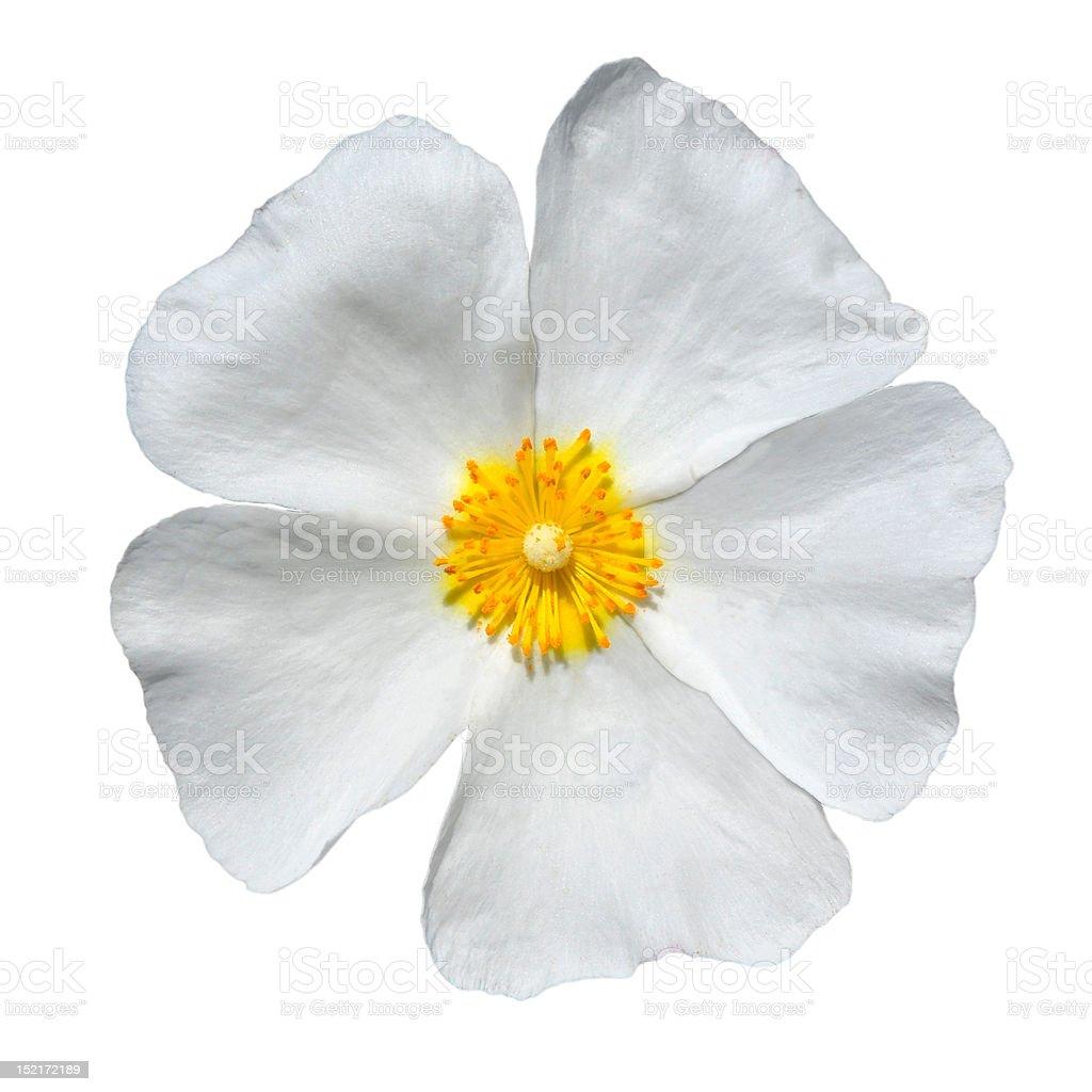 Rose Alba - Beautiful White Flower Isolated stock photo