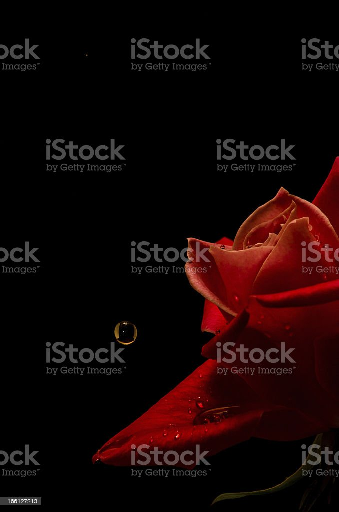rose and a drop royalty-free stock photo