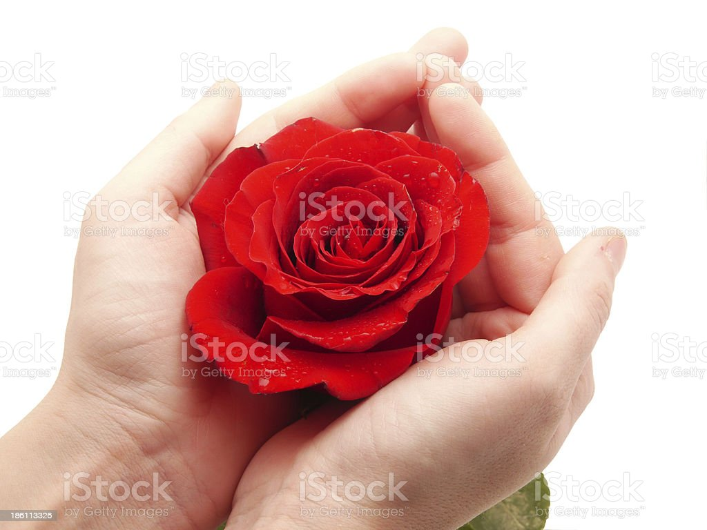 Rose and arm on a white background royalty-free stock photo