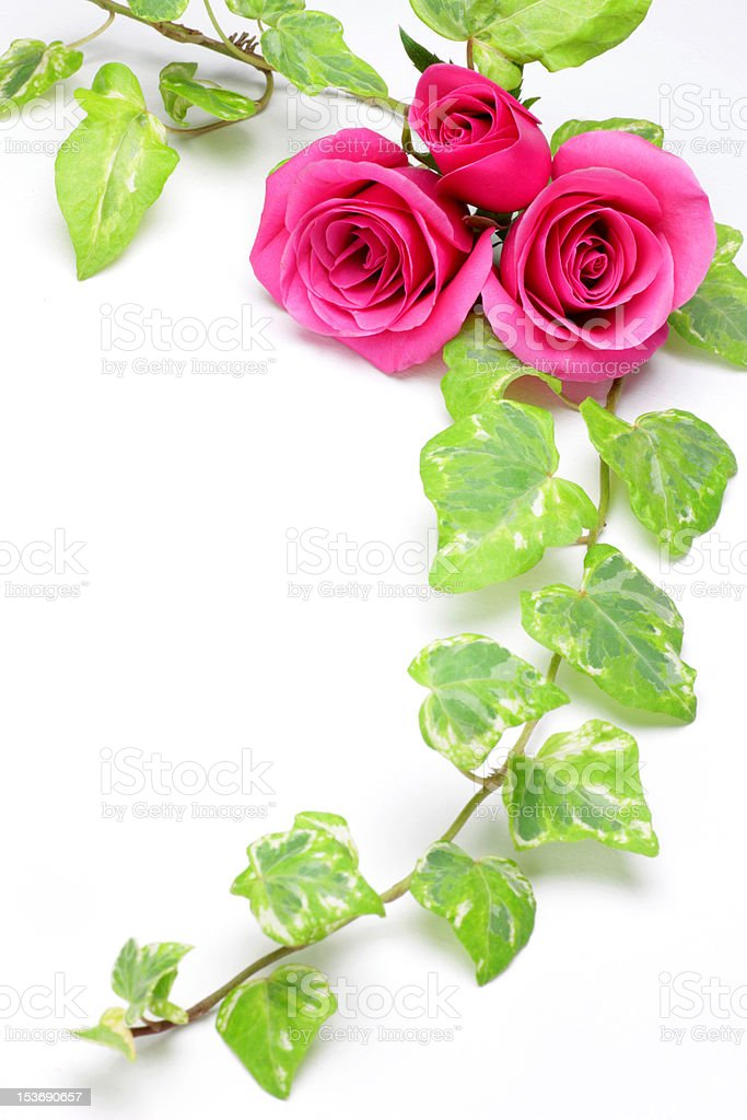 rose and ivy royalty-free stock photo