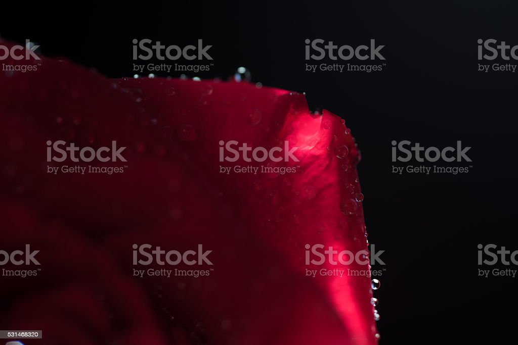 Rose and water droplets royalty-free stock photo