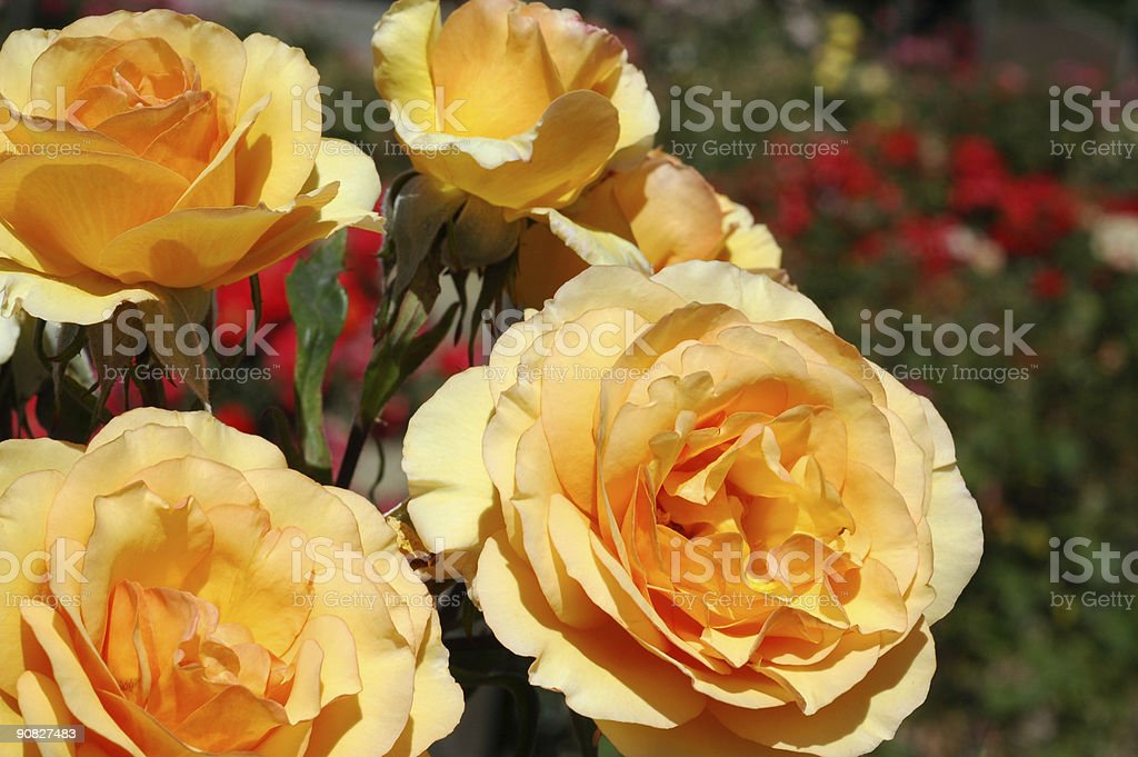 Rose 'Ann Harkness' stock photo