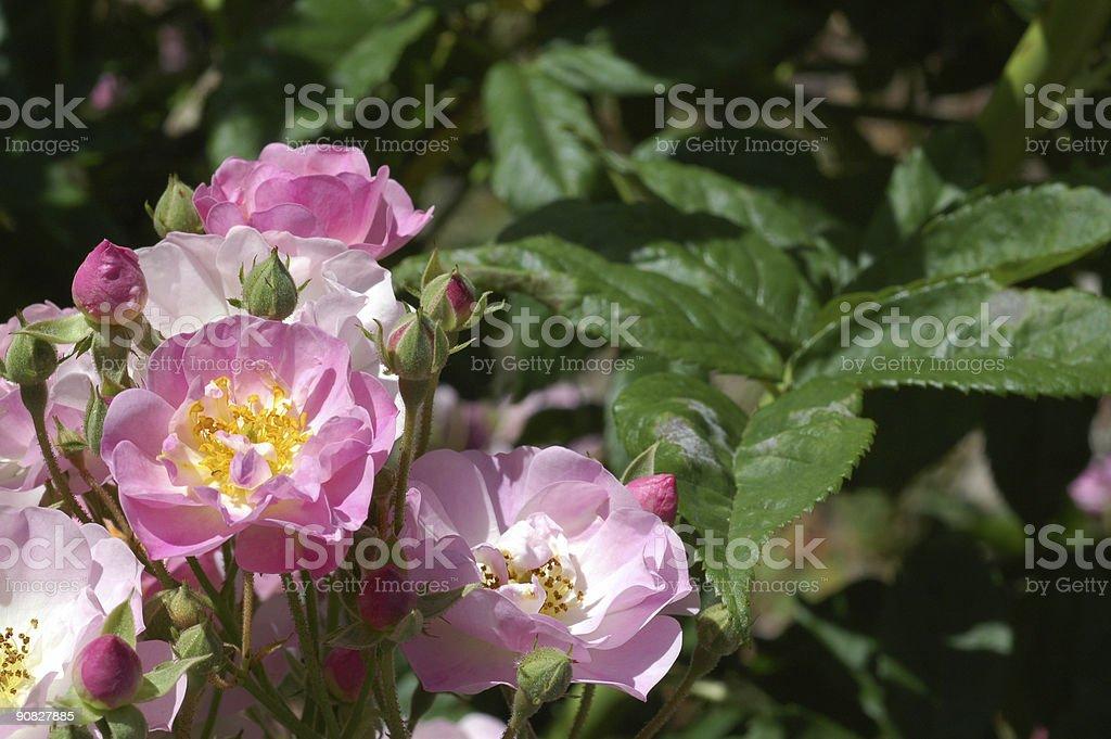 Rose 'Apple Blossom' stock photo