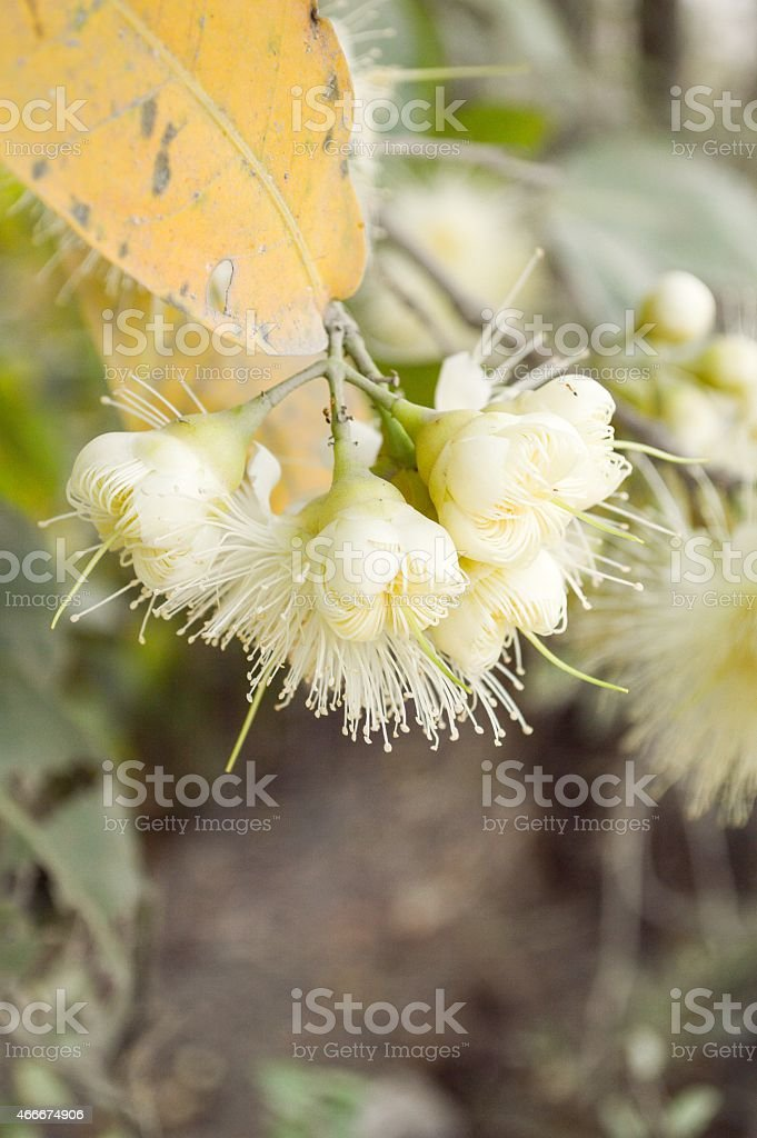 rose apple flower in garden stock photo