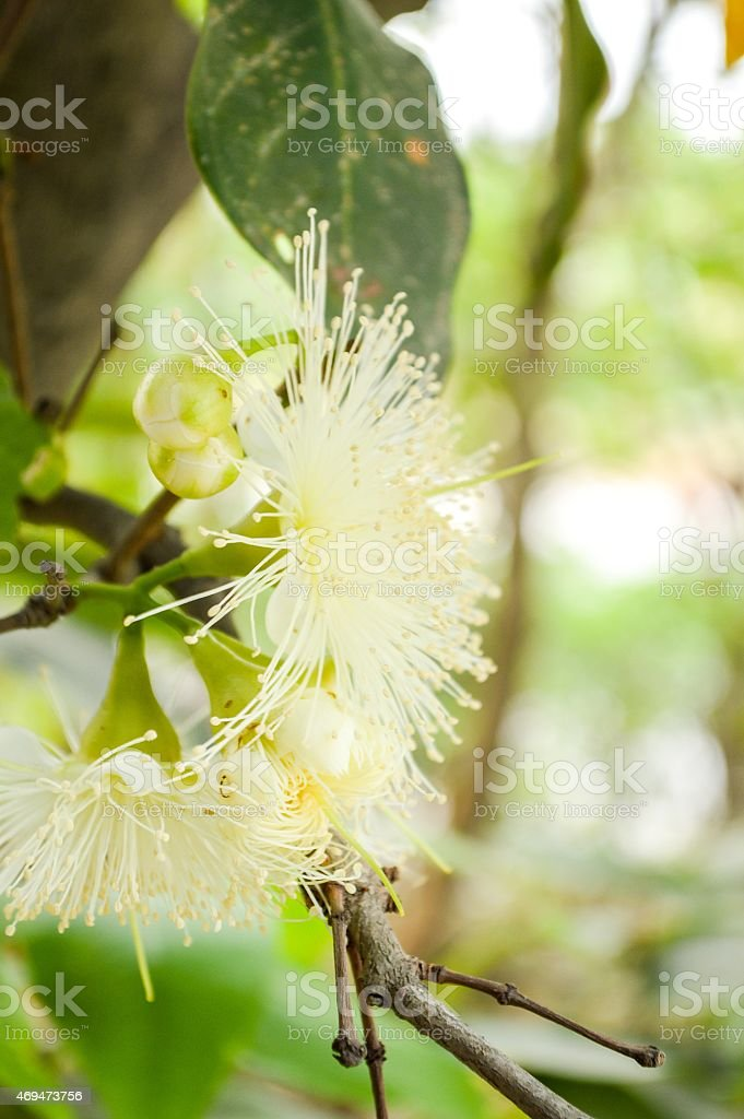 rose apple flower stock photo