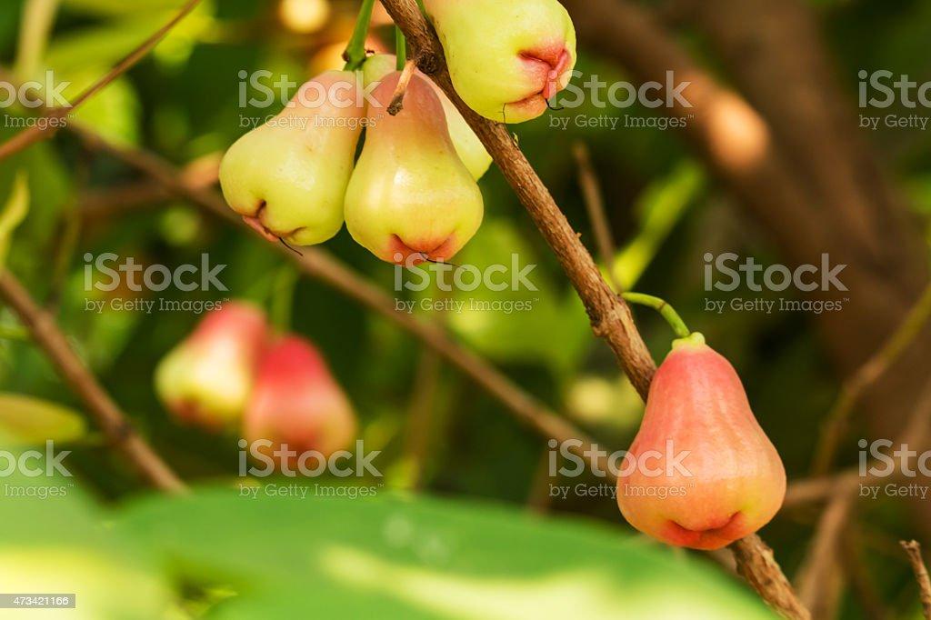Rose Apple stock photo