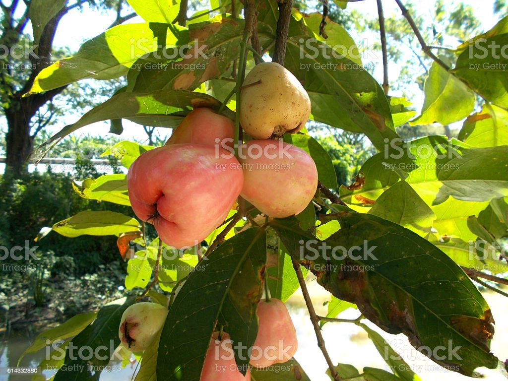 rose apples on the tree stock photo
