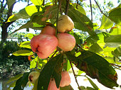 rose apples on the tree