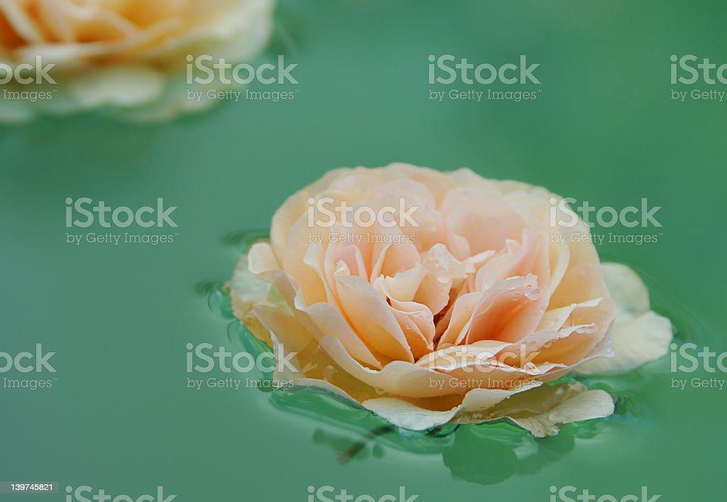 rose as lotus royalty-free stock photo