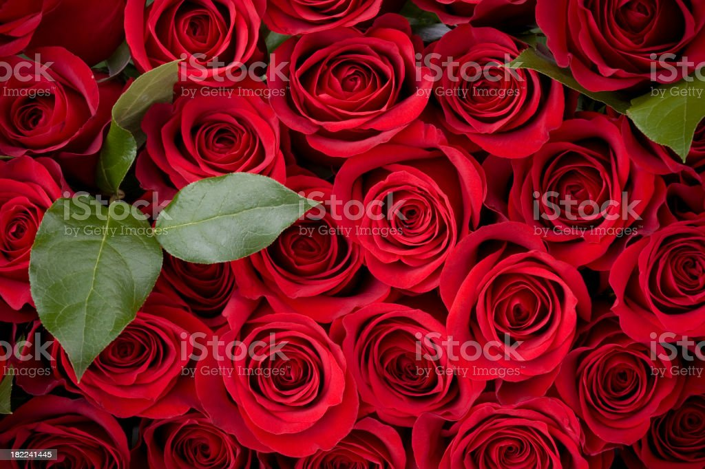 Rose Background royalty-free stock photo