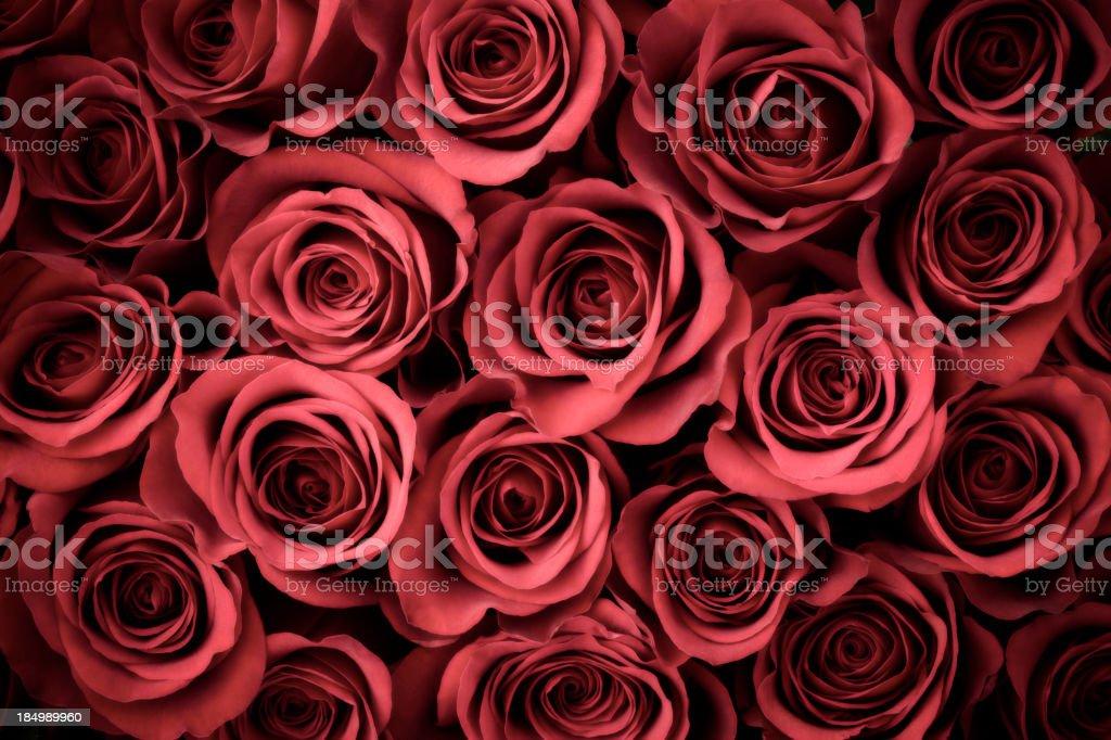 Rose Background royalty-free stock photo