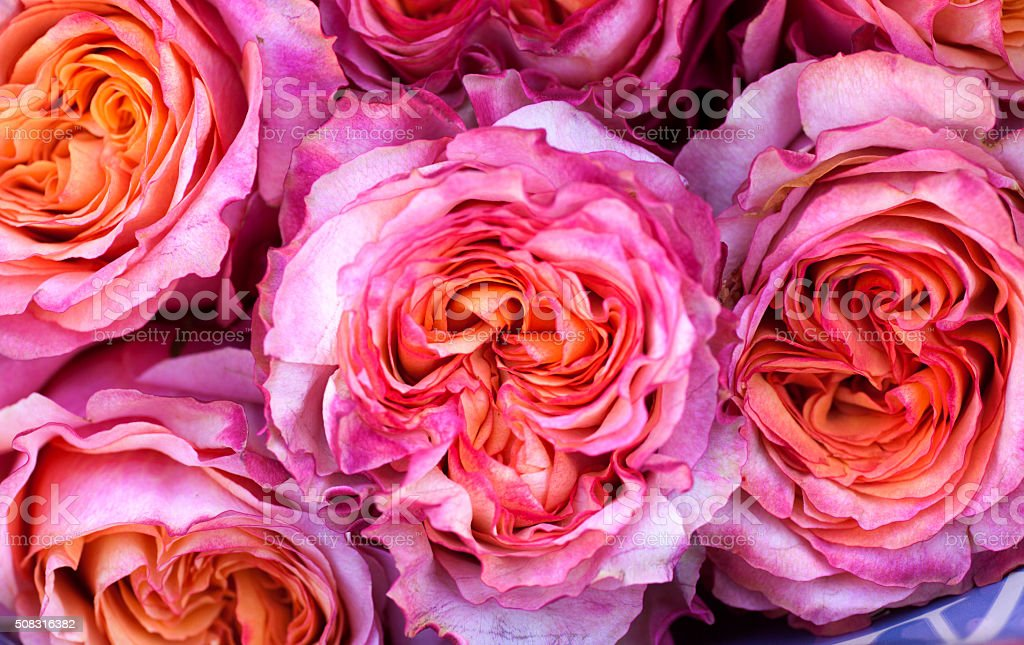 Rose Backgrounds stock photo