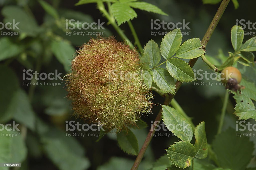 Rose bedeguar gall on in summer. (Diplolepis rosae) stock photo