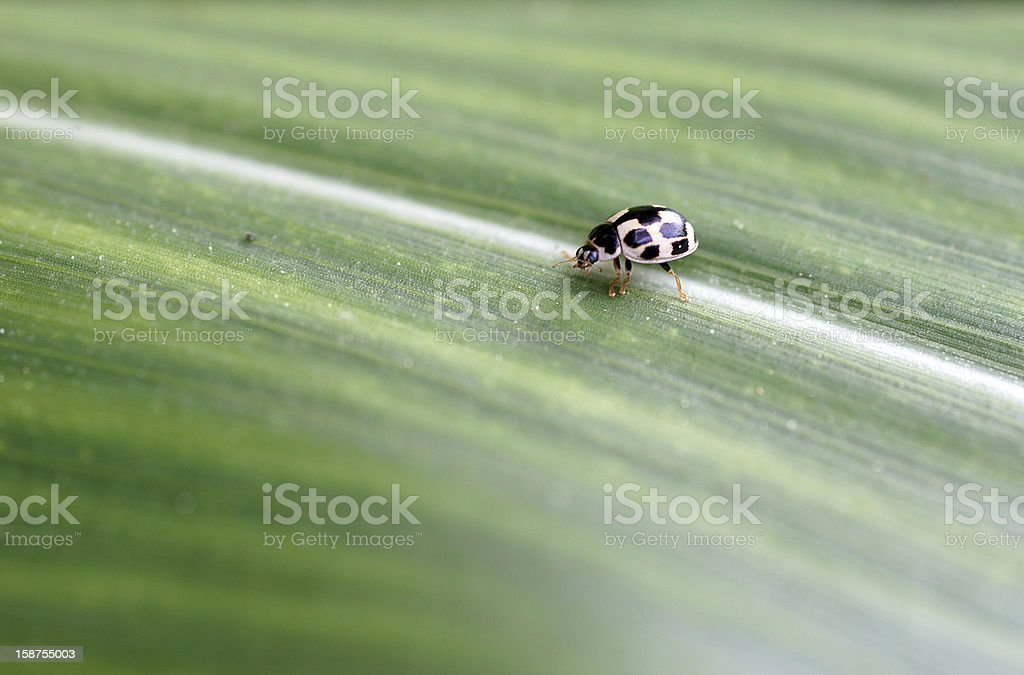 Rose beetle stock photo