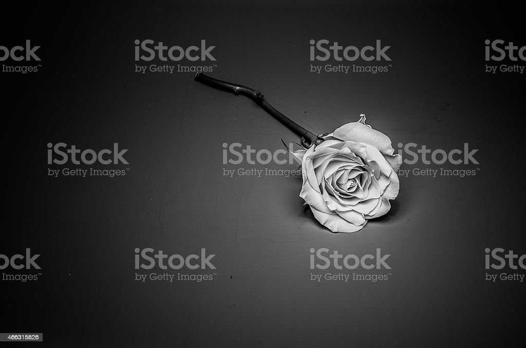 Rose black and white royalty-free stock photo