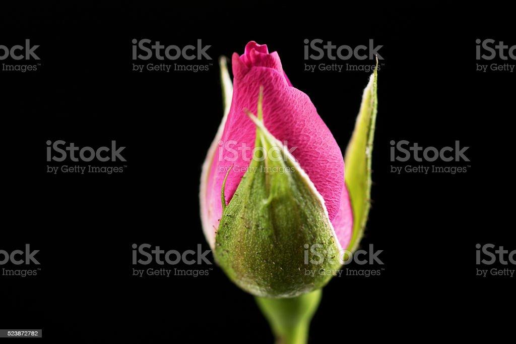 Rose blosom macro stock photo