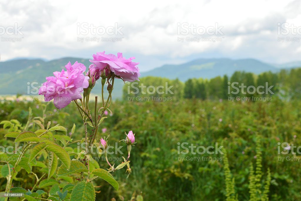 Rose blossom in rose field stock photo