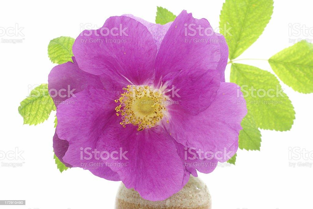 rose blossom in stoneware vase royalty-free stock photo