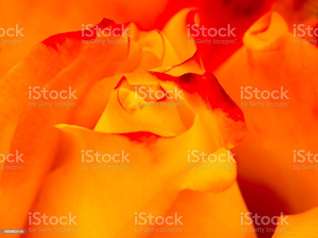 Rose blossom stock photo