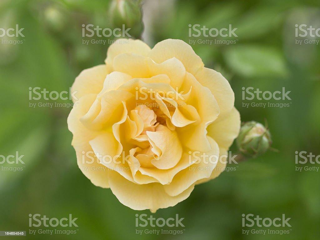 Rose blossom, Rosenbluete; Ghislaine de Feligonde; royalty-free stock photo