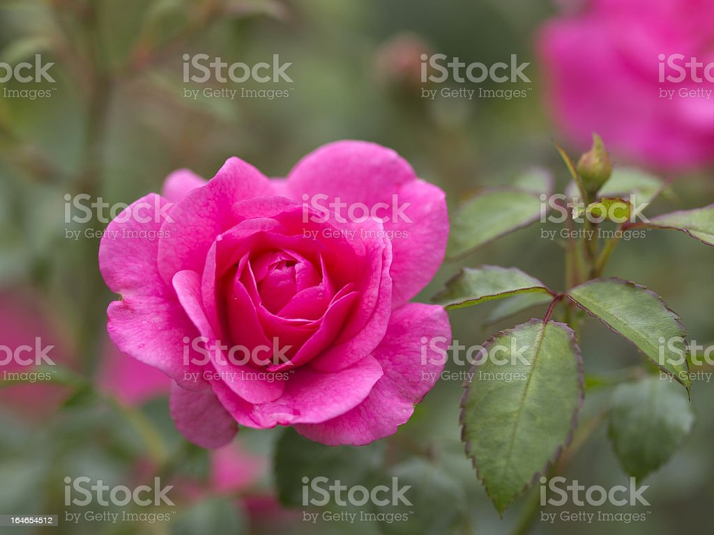 Rose blossom; Rosenbluete, Heidetraum stock photo