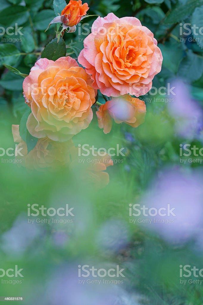 Rose Bonanza stock photo