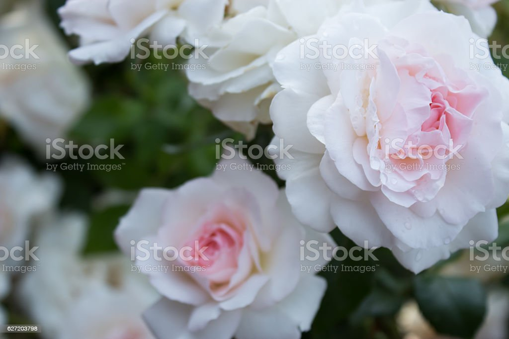 rose Bremer Stadtmusikanten stock photo