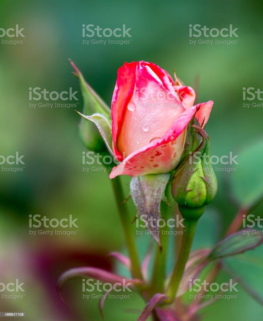 Rose Bud - 1108 stock photo