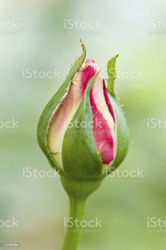 Rose bud stock photo